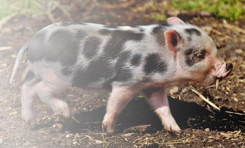 Hello Pigs!